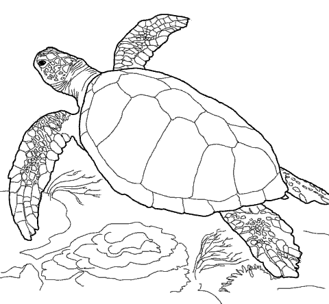 Раскраска «Морская черепаха ». №71559