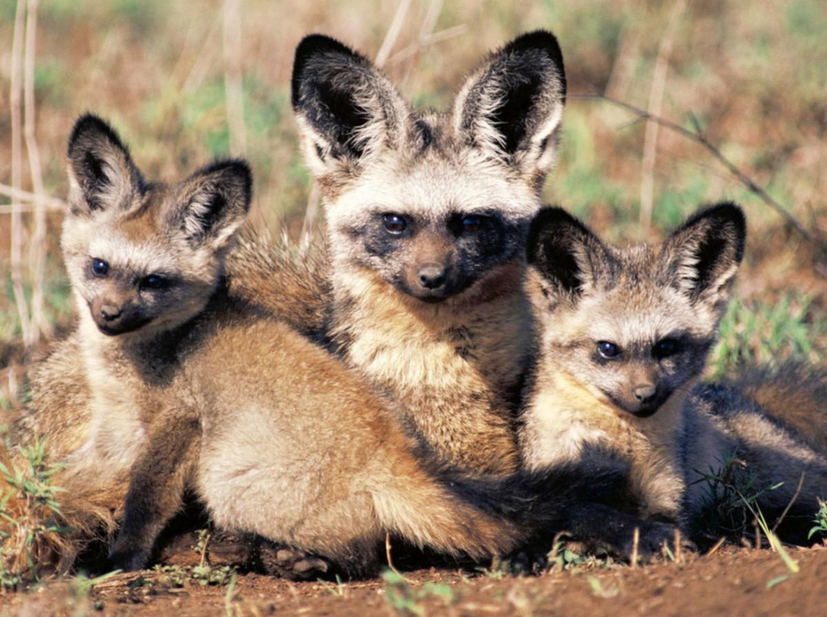 Пазл Собирать пазлы онлайн - Большеухая лисица