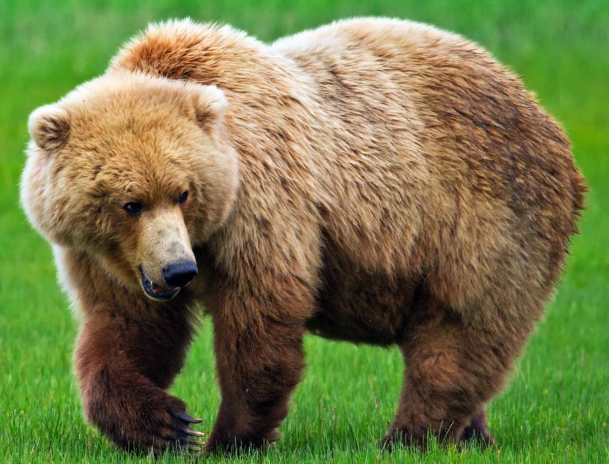 Пазл Собирать пазлы онлайн - Бурый медведь