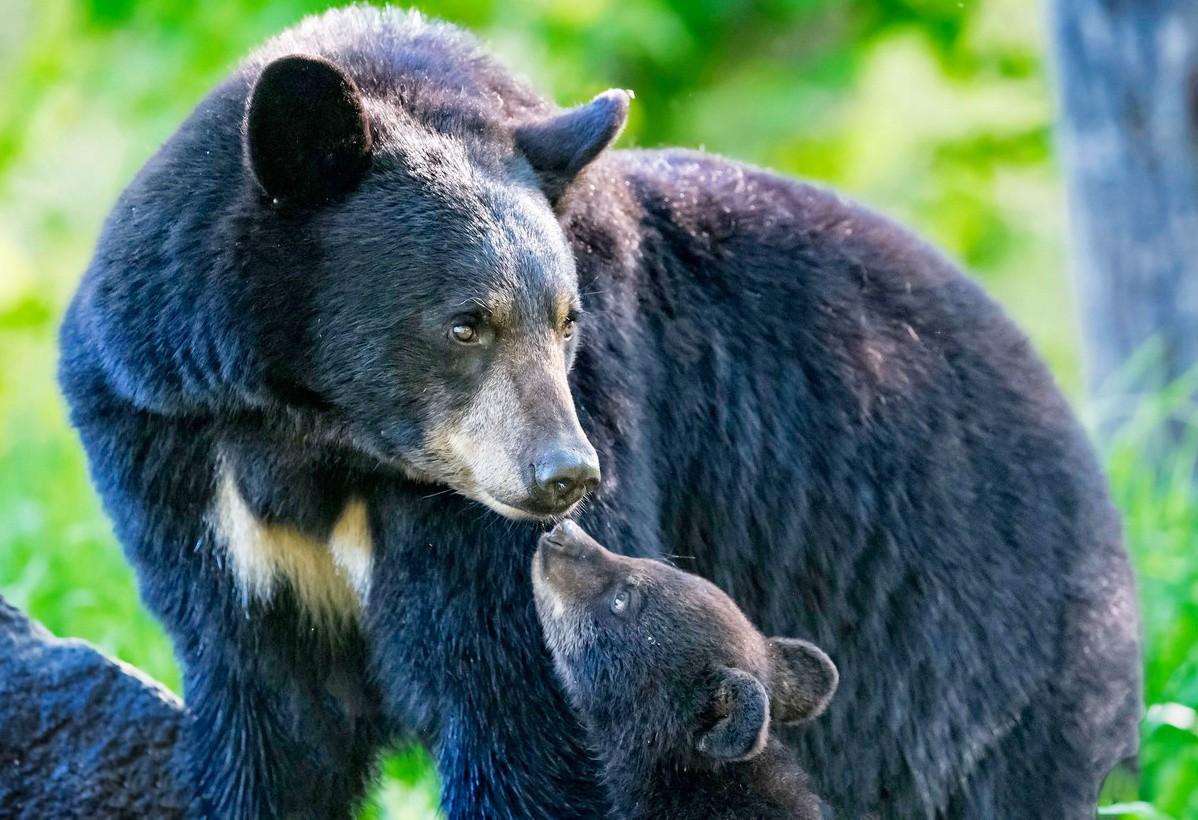 Пазл Собирать пазлы онлайн - Чёрный медведь