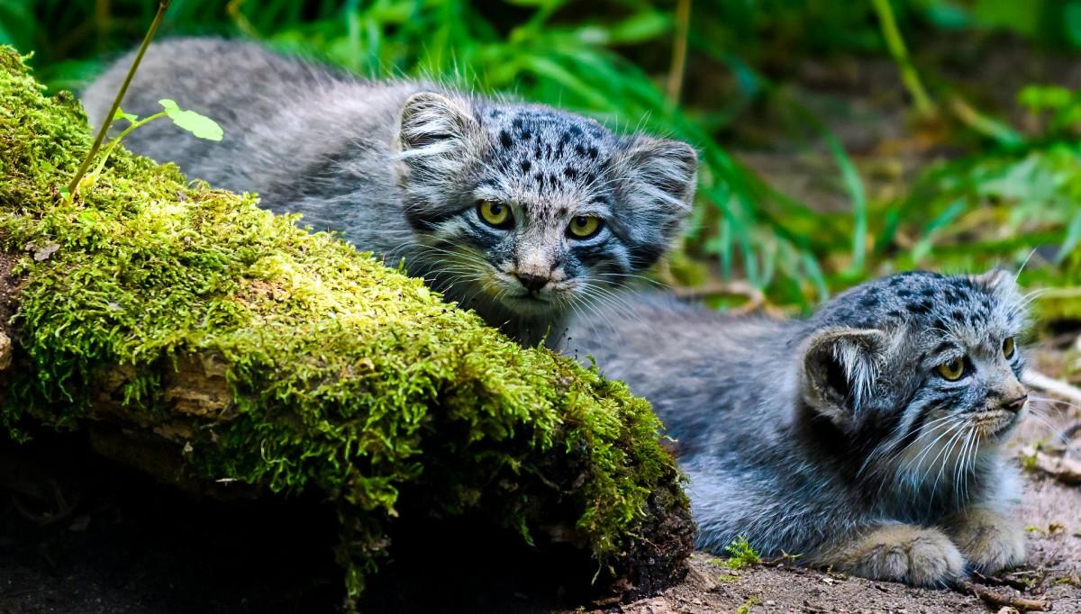 Пазл Собирать пазлы онлайн - Два кота