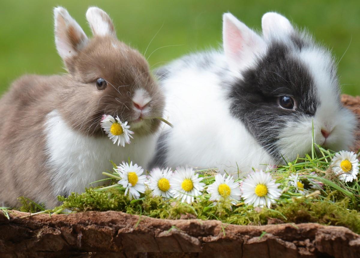 Пазл Собирать пазлы онлайн - Два кролика