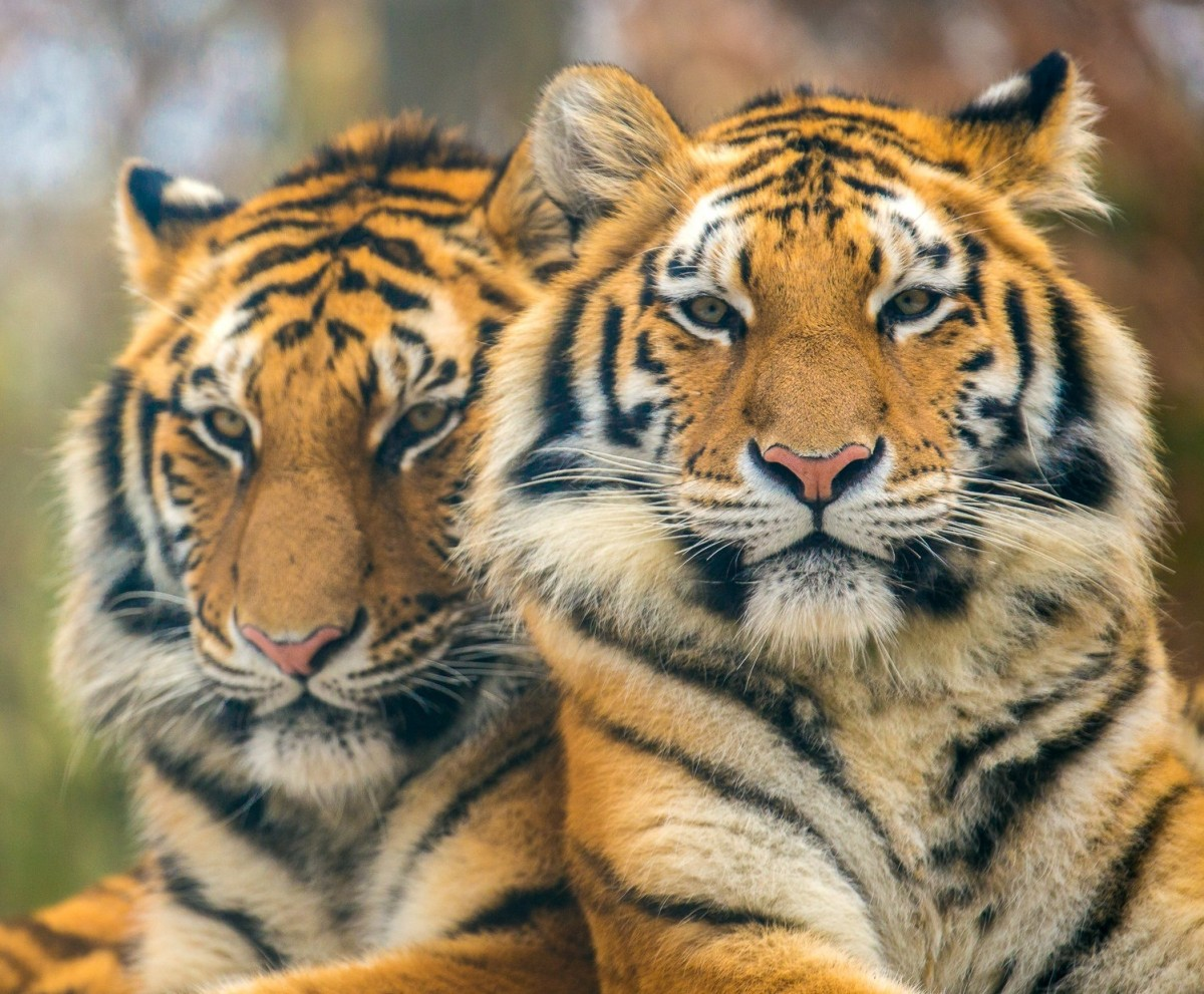 Пазл Собирать пазлы онлайн - Два тигра