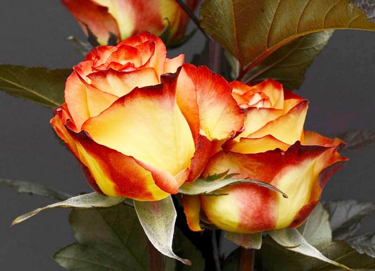 Пазл Собирать пазлы онлайн - Две розы