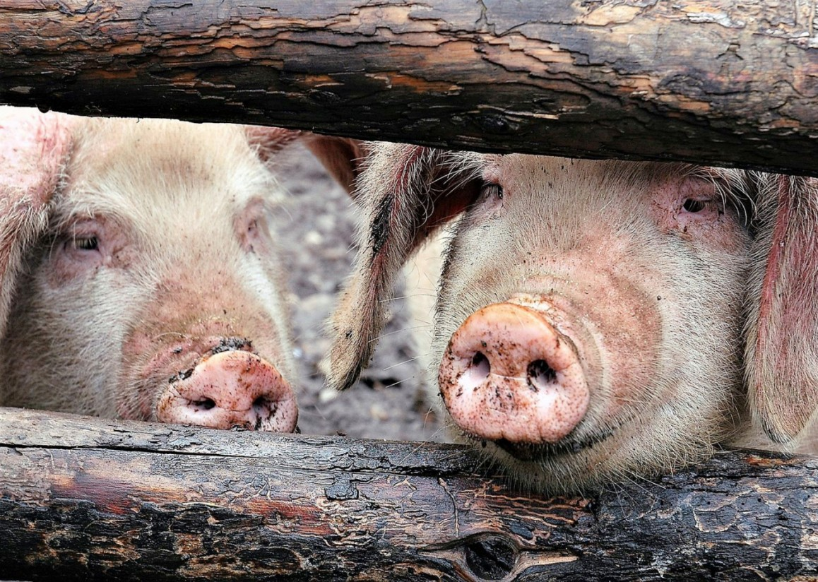 Пазл Собирать пазлы онлайн - Две свиньи