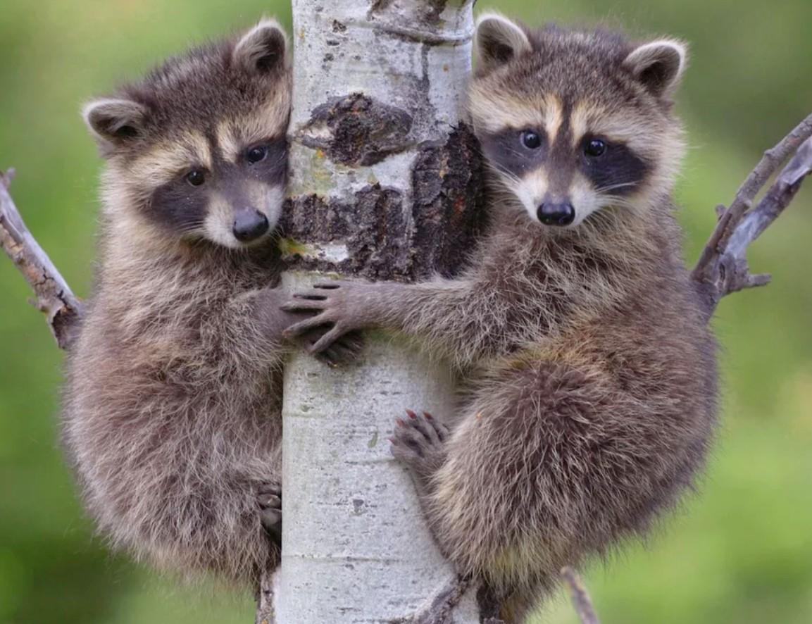 Пазл Собирать пазлы онлайн - Еноты на дереве