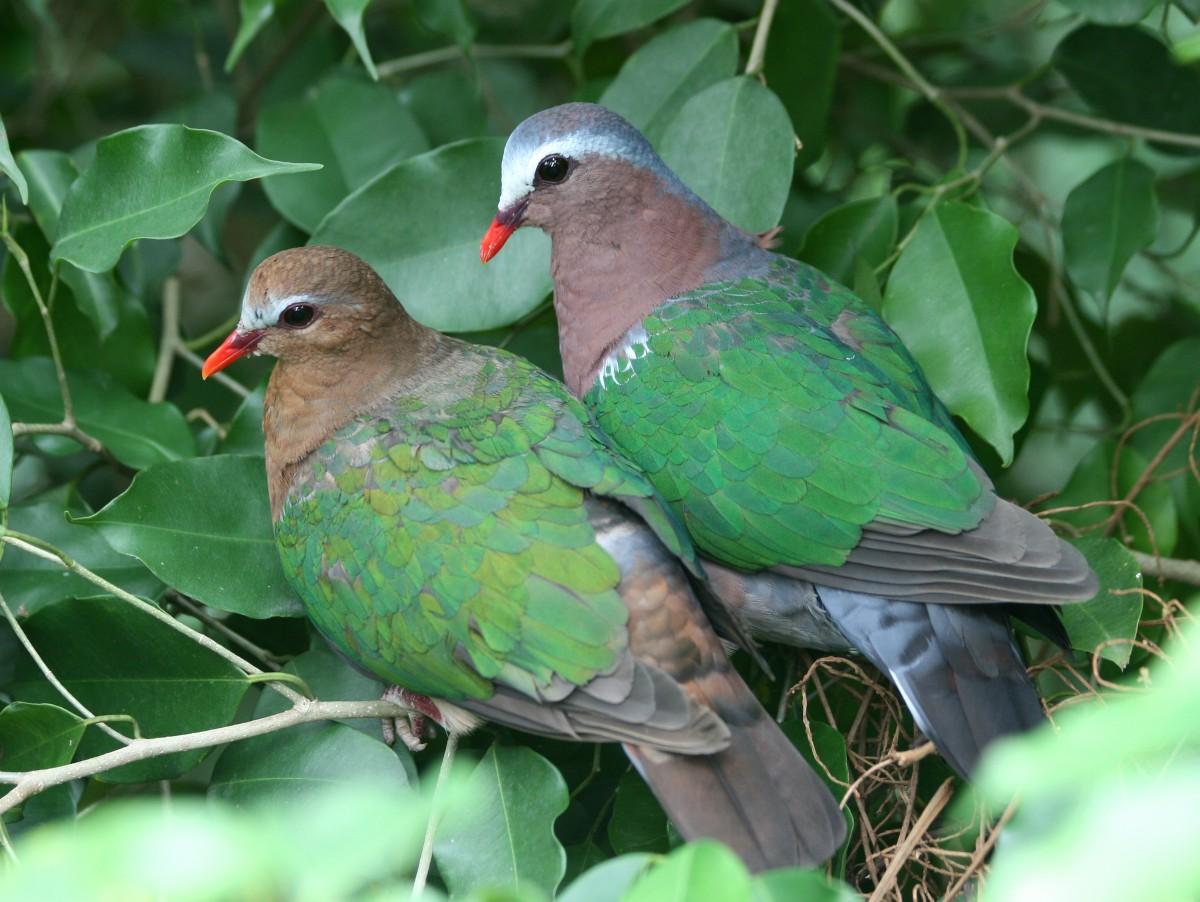 Пазл Собирать пазлы онлайн - Голубь и голубка