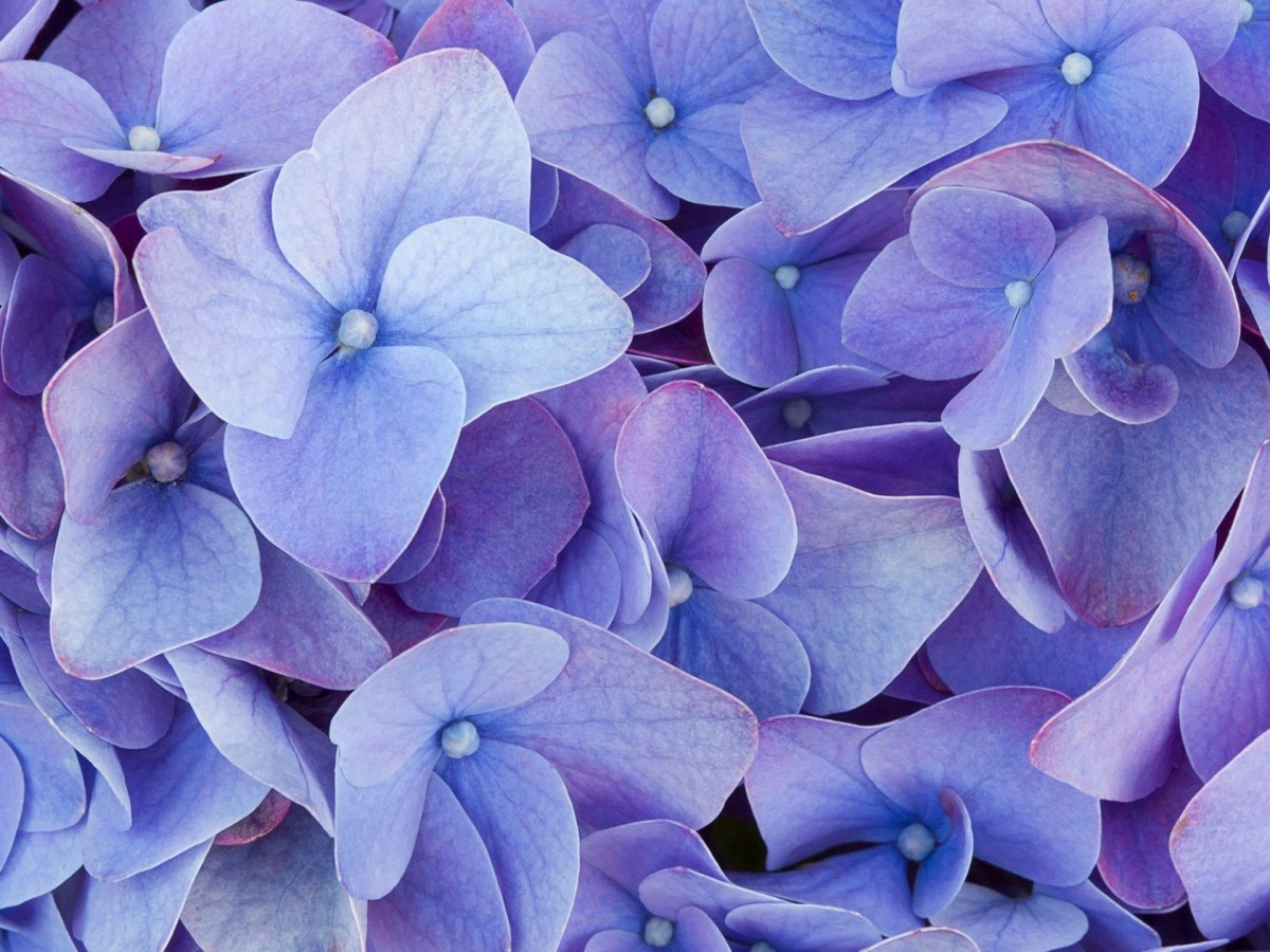 Пазл Собирать пазлы онлайн - Гортензия цветёт