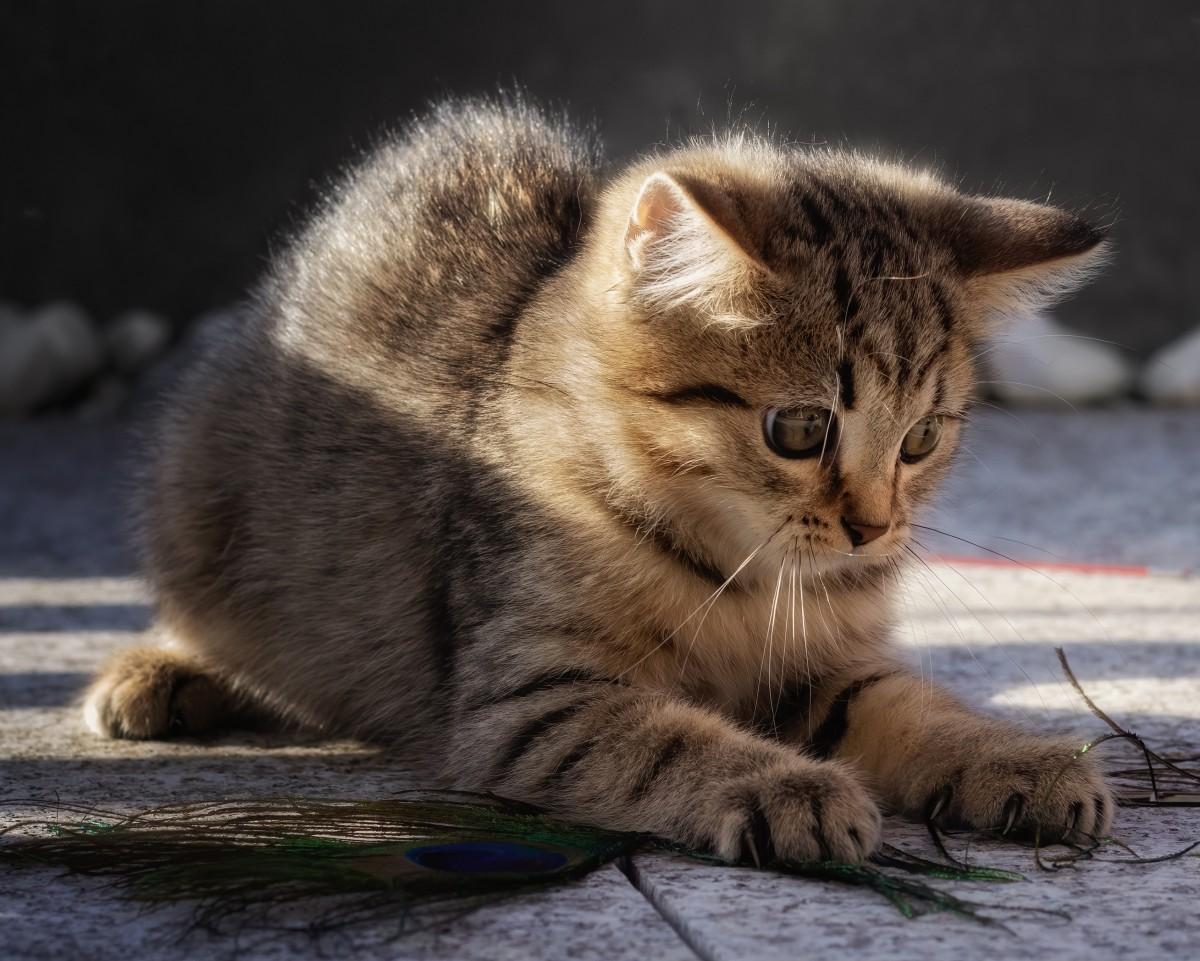 Пазл Собирать пазлы онлайн - Играющий котёнок