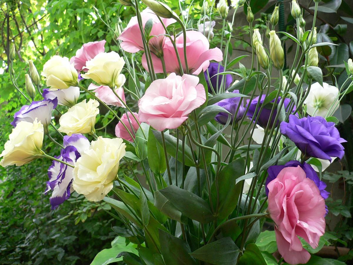 Пазл Собирать пазлы онлайн - Ирландская роза