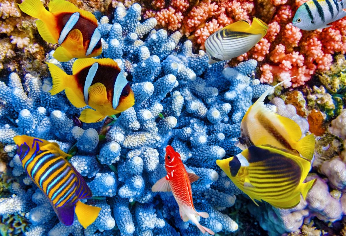 Пазл Собирать пазлы онлайн - Коралловые рыбки