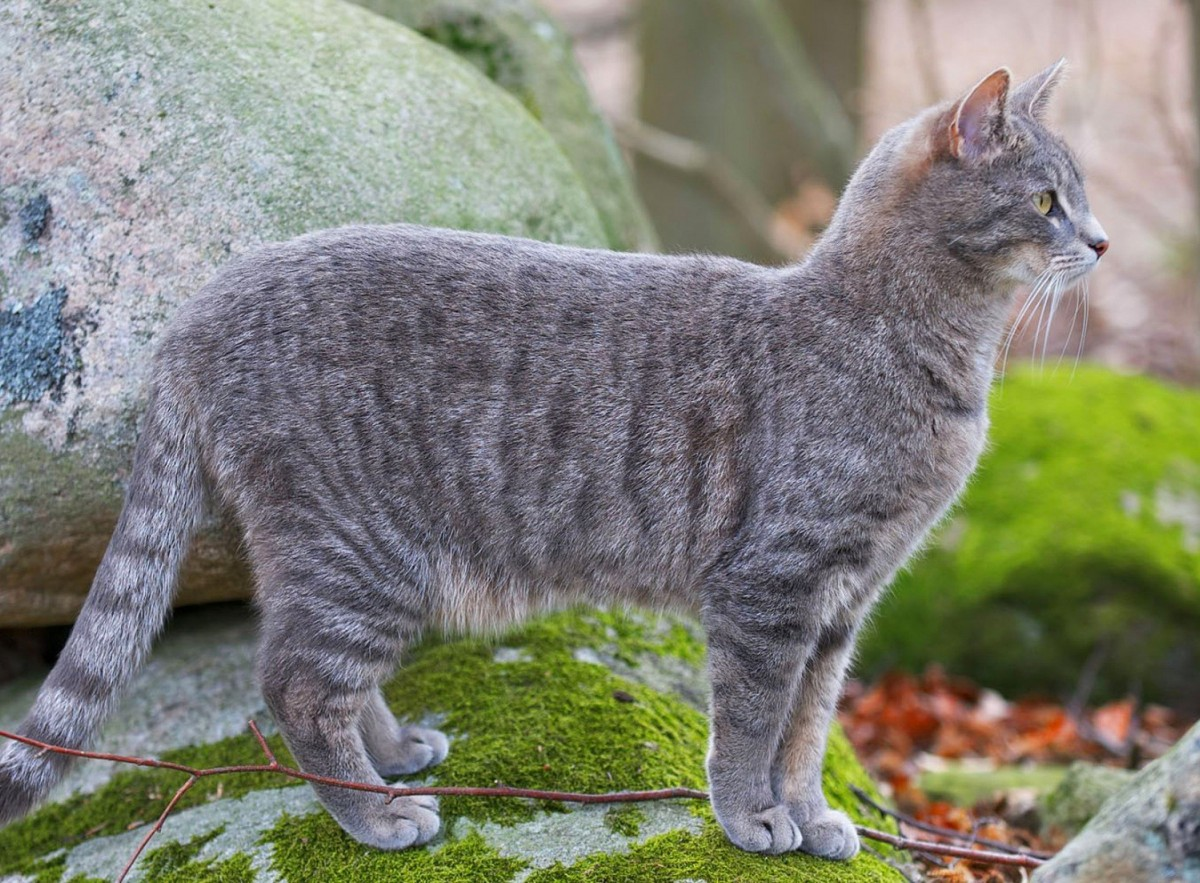 Пазл Собирать пазлы онлайн - Кошка на камне