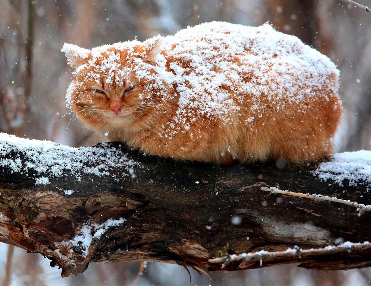 Пазл Собирать пазлы онлайн - Кот под снегом
