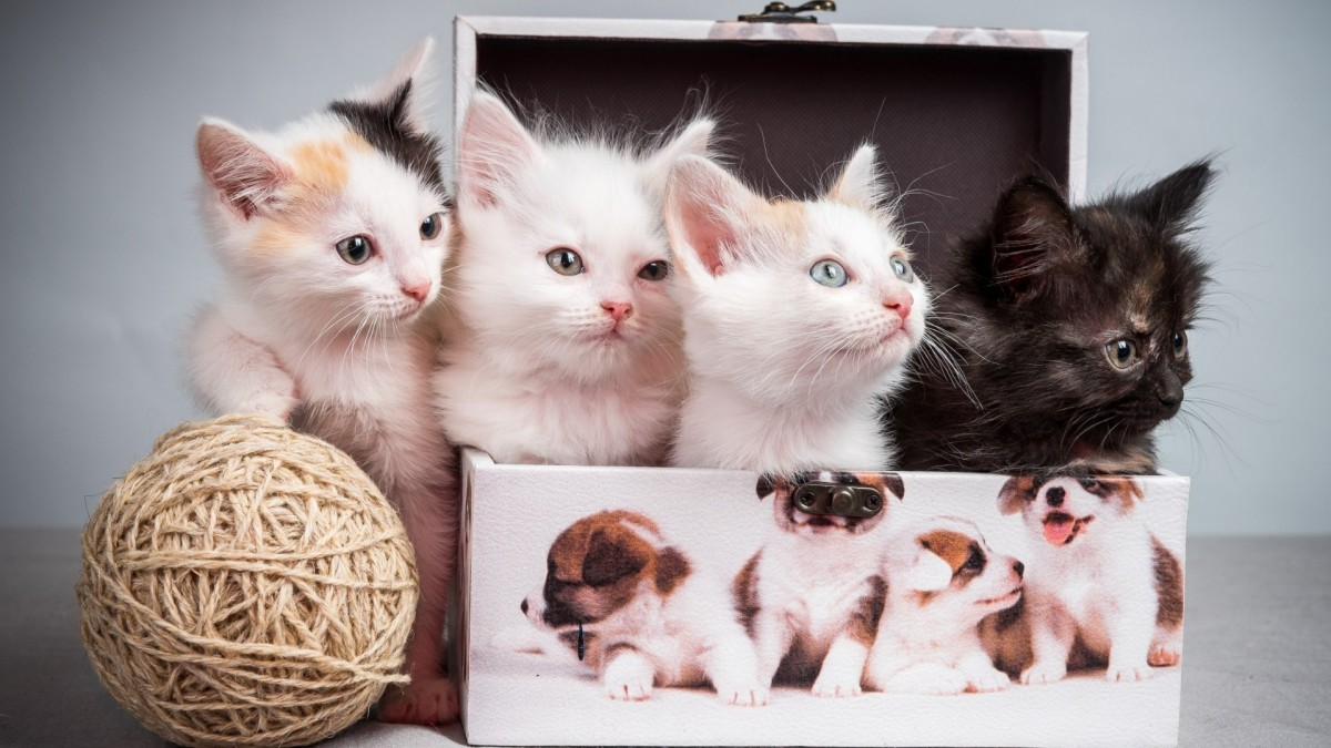 Пазл Собирать пазлы онлайн - Котята в коробке