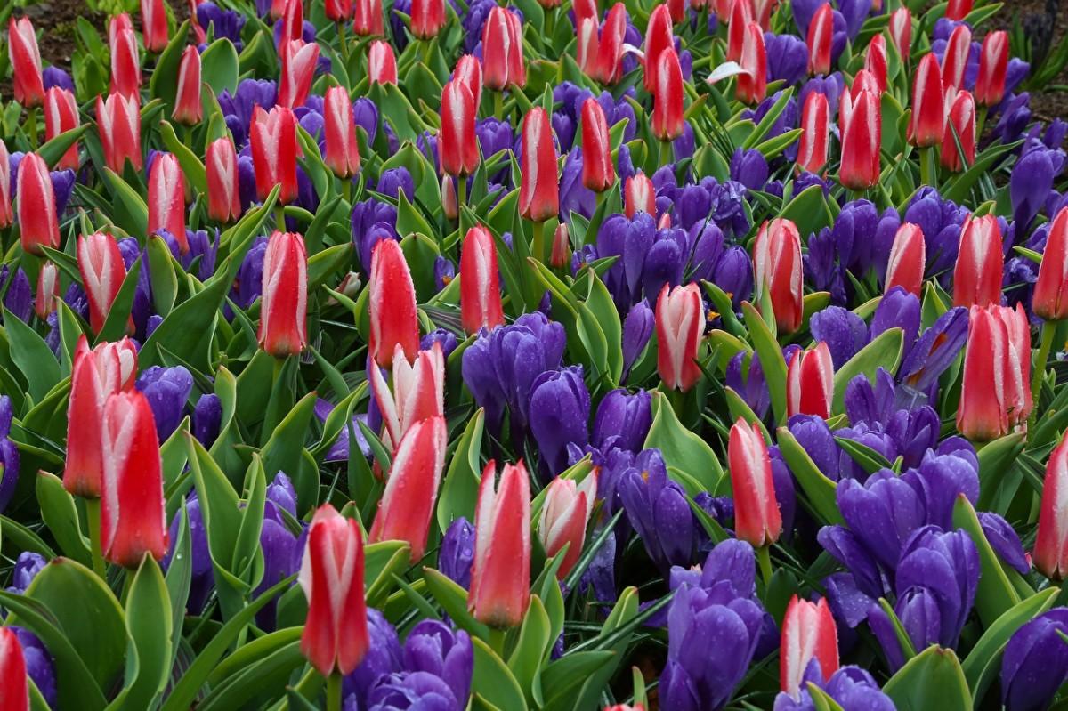 Пазл Собирать пазлы онлайн - Крокусы и тюльпаны