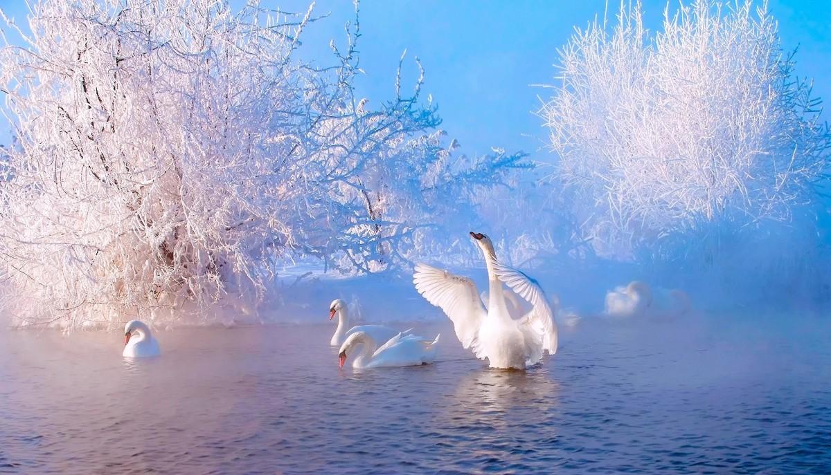Пазл Собирать пазлы онлайн - Лебединая зима