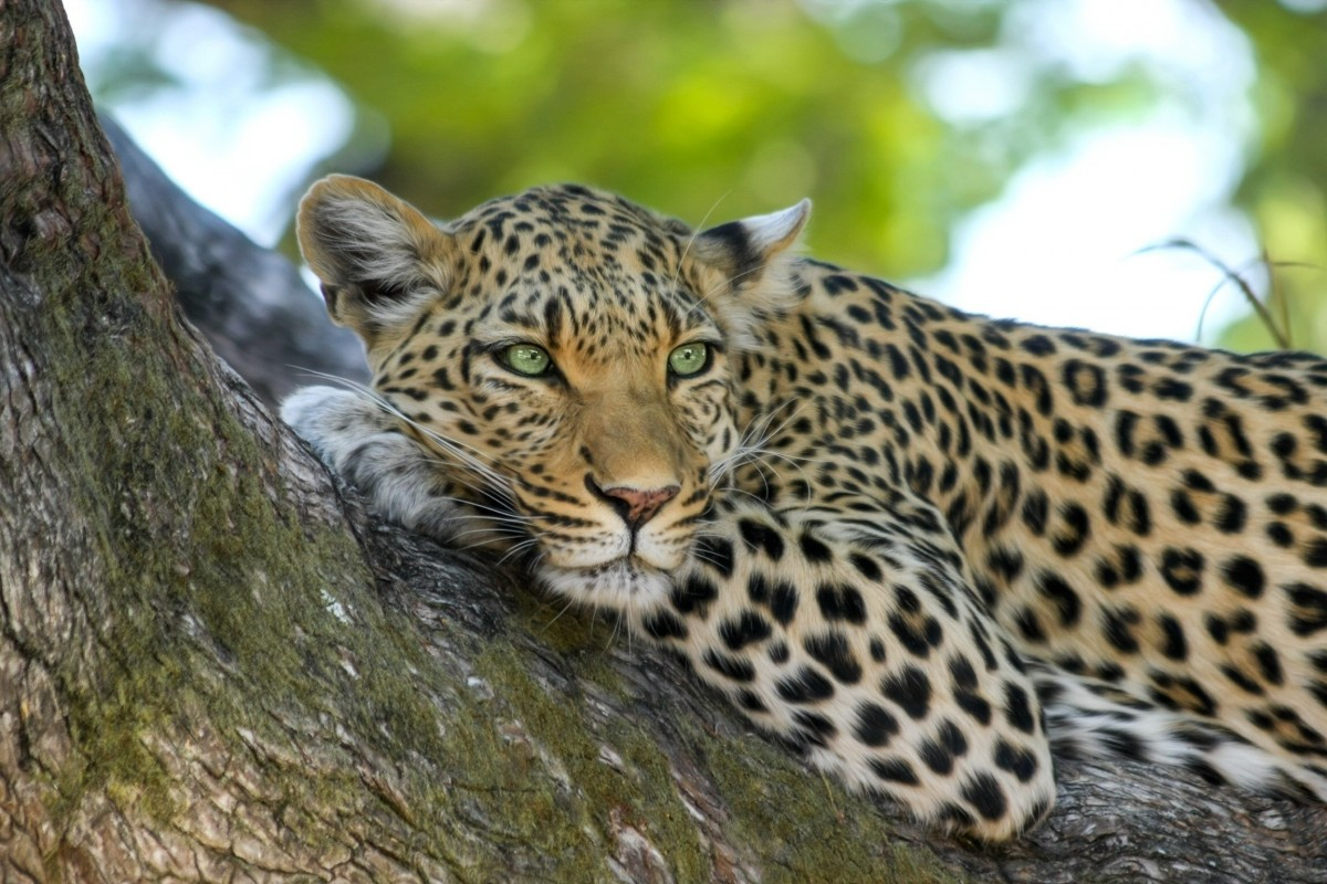Пазл Собирать пазлы онлайн - Леопард