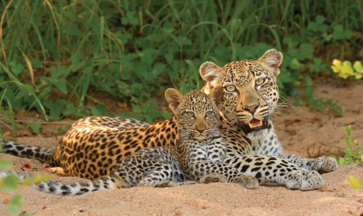 Пазл Собирать пазлы онлайн - Леопарды
