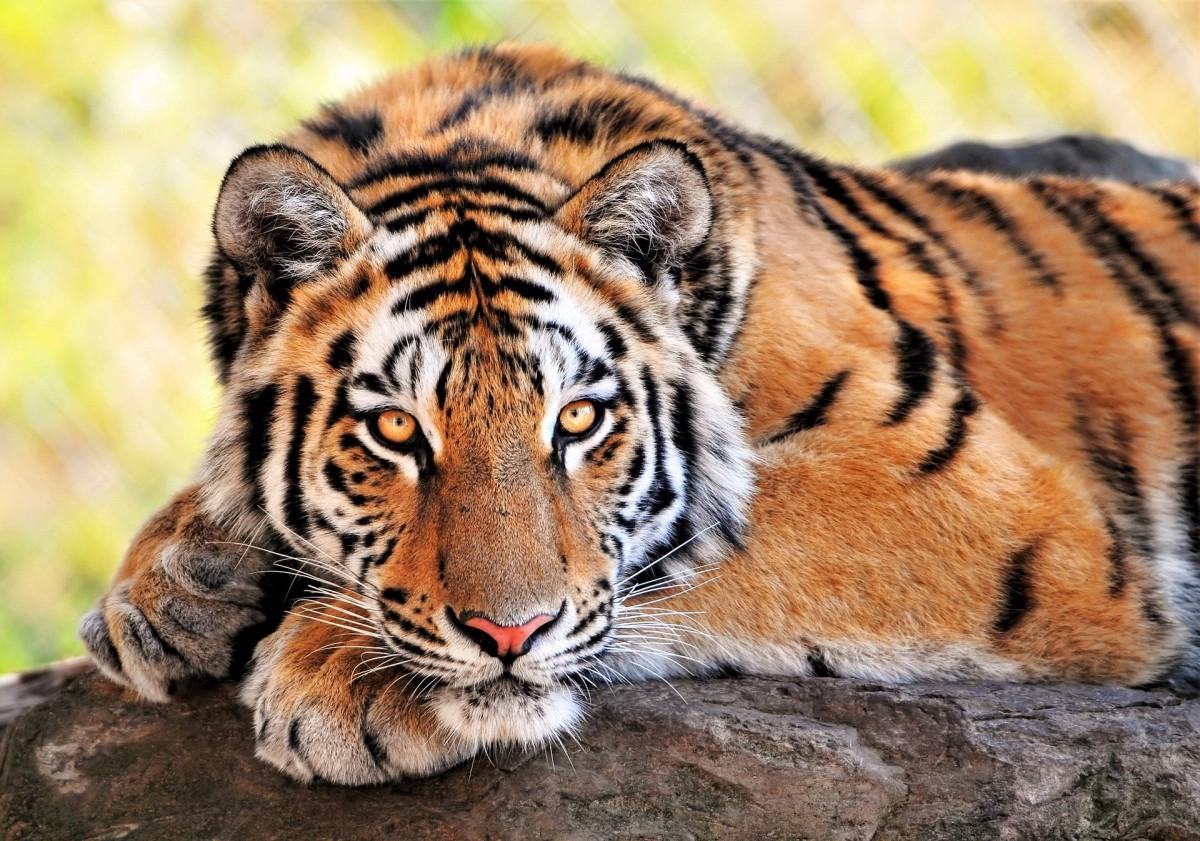 Пазл Собирать пазлы онлайн - Лежащий тигр