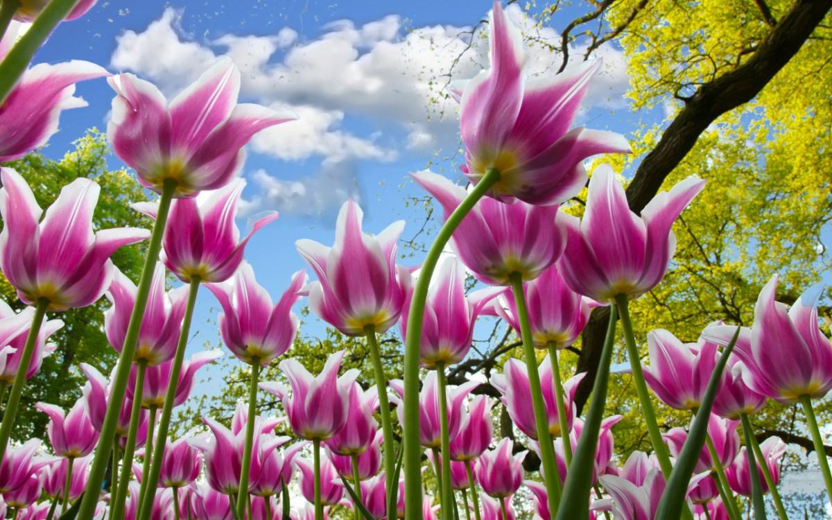Пазл Собирать пазлы онлайн - Лиловые тюльпаны