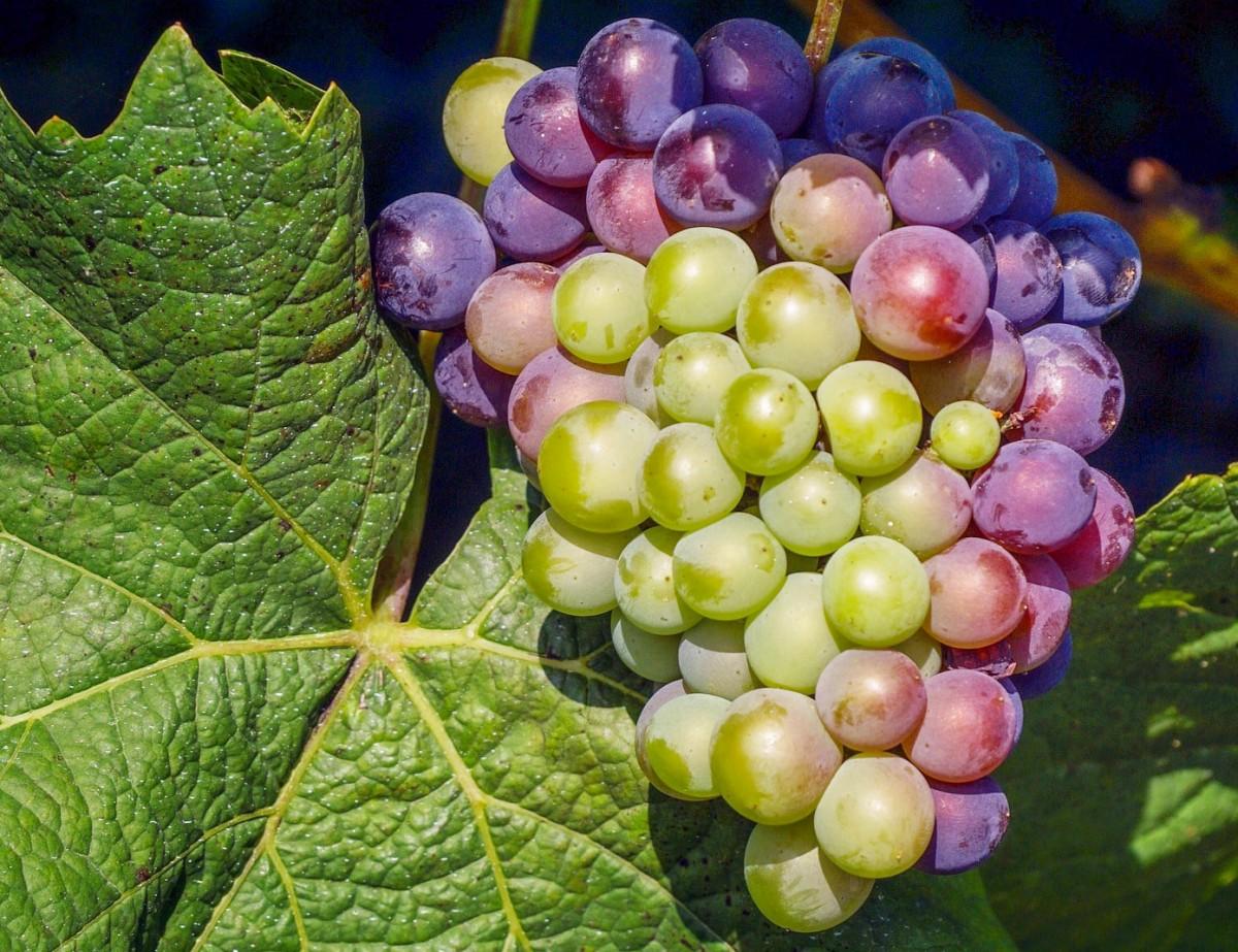 Пазл Собирать пазлы онлайн - Лист и виноград