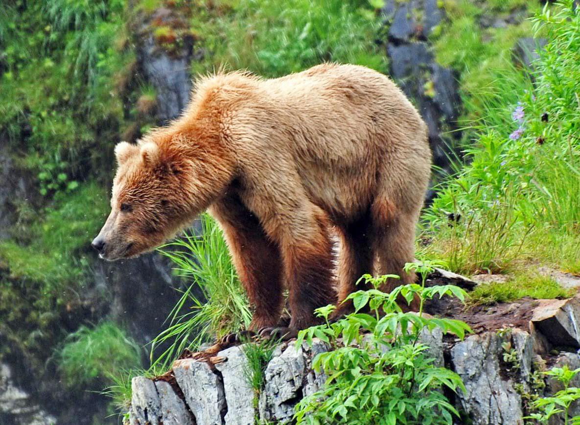 Пазл Собирать пазлы онлайн - Медведь