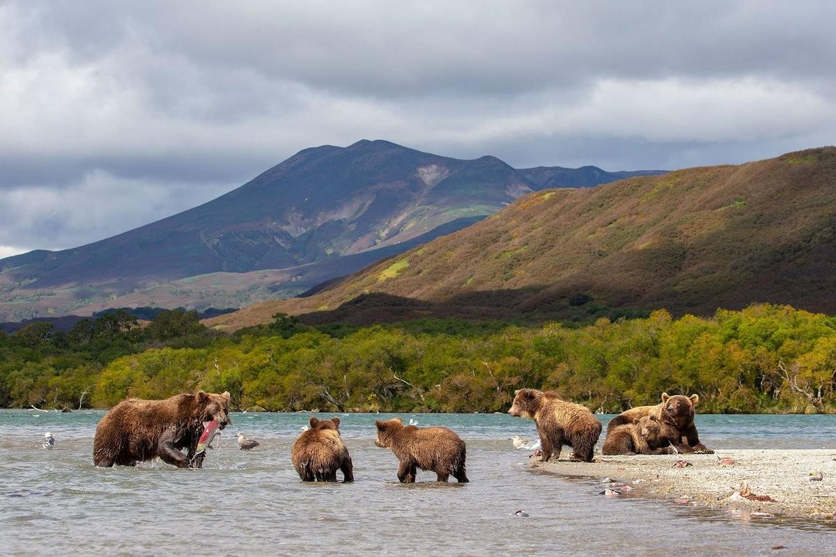 Пазл Собирать пазлы онлайн - Медведи на рыбалке