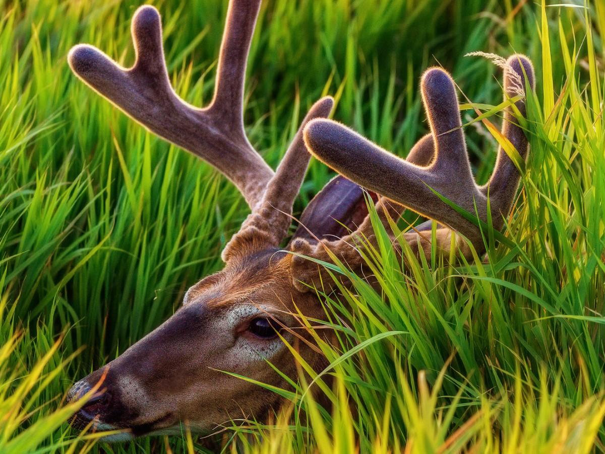 Пазл Собирать пазлы онлайн - Олень в траве