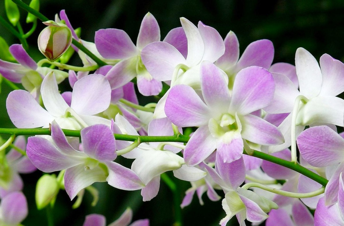 Пазл Собирать пазлы онлайн - Орхидеи