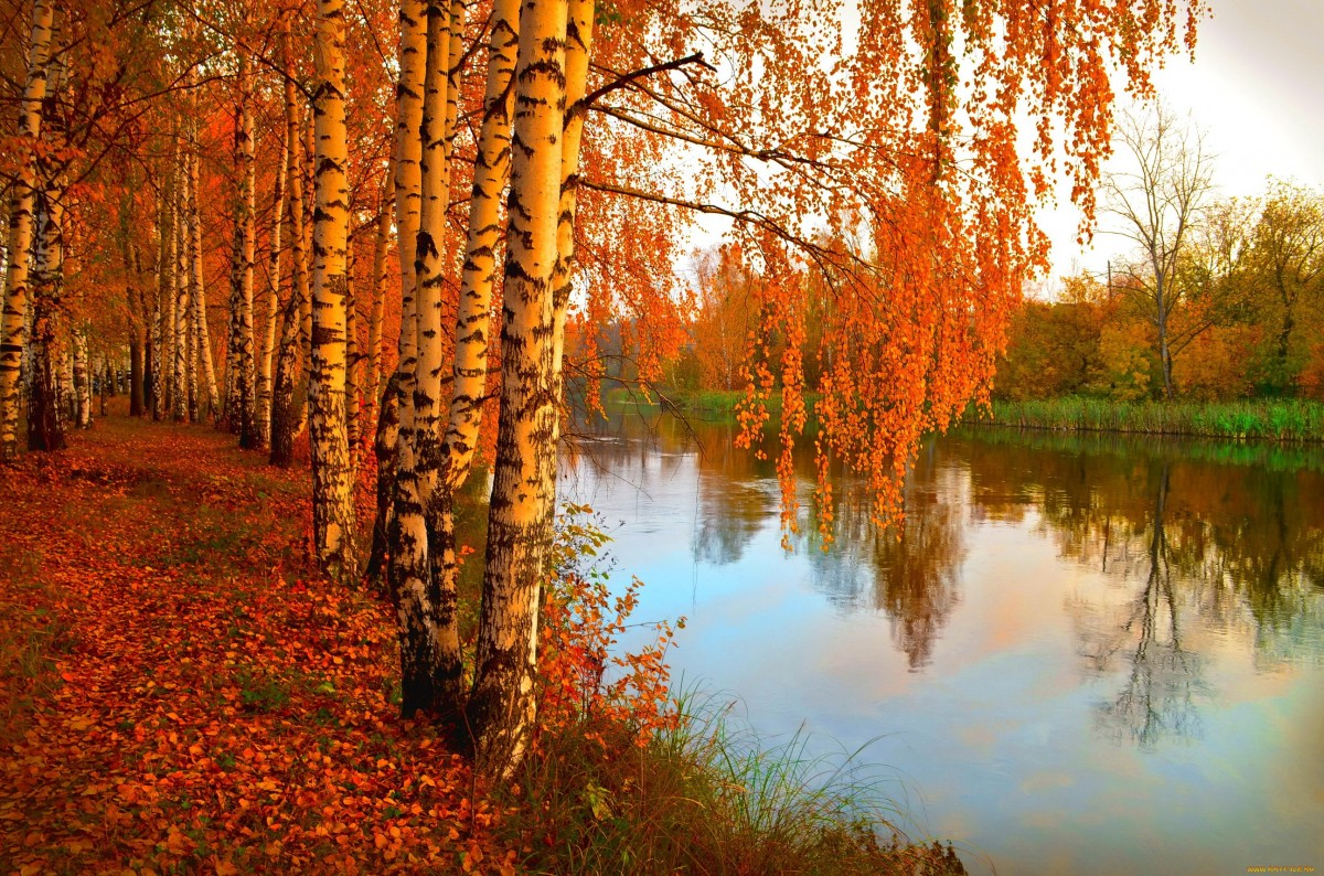Пазл Собирать пазлы онлайн - Осенние берёзы