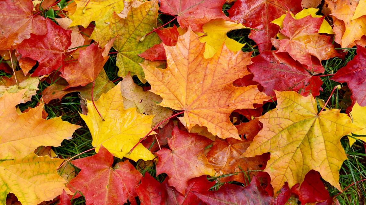Пазл Собирать пазлы онлайн - Осенние листья
