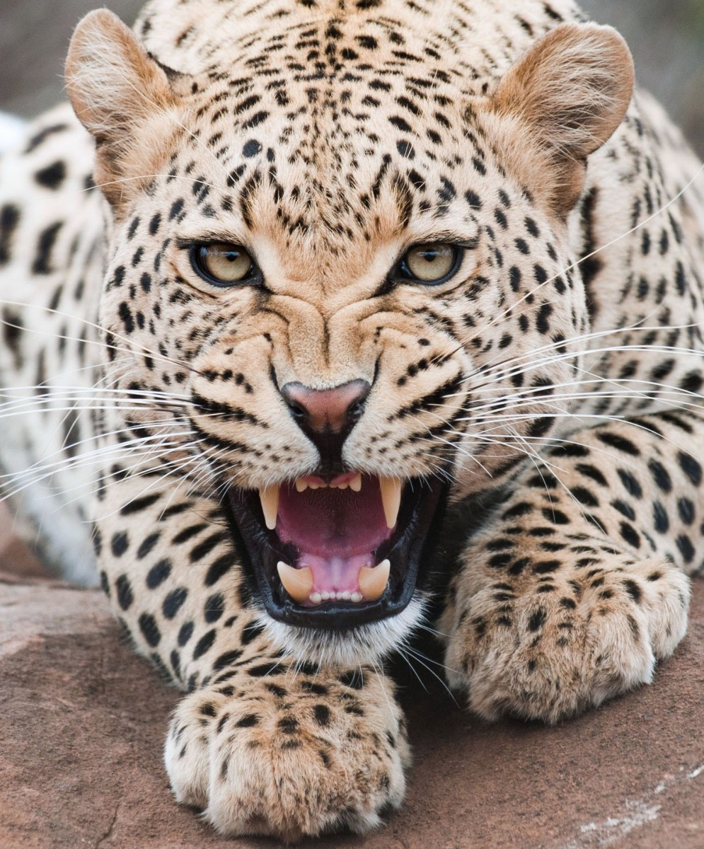 Пазл Собирать пазлы онлайн - Оскал леопарда
