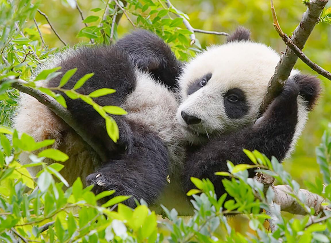 Пазл Собирать пазлы онлайн - Панда на ветках