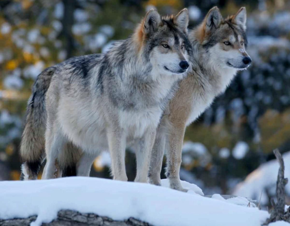 Пазл Собирать пазлы онлайн - Пара волков