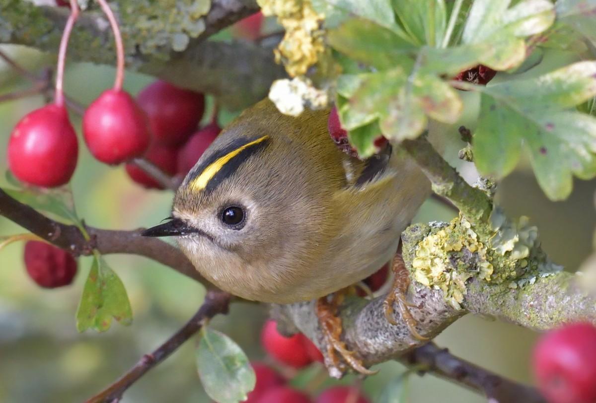 Пазл Собирать пазлы онлайн - Певчая птичка