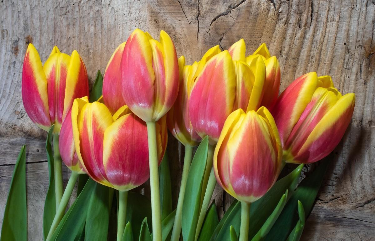 Пазл Собирать пазлы онлайн - Пламенные тюльпаны