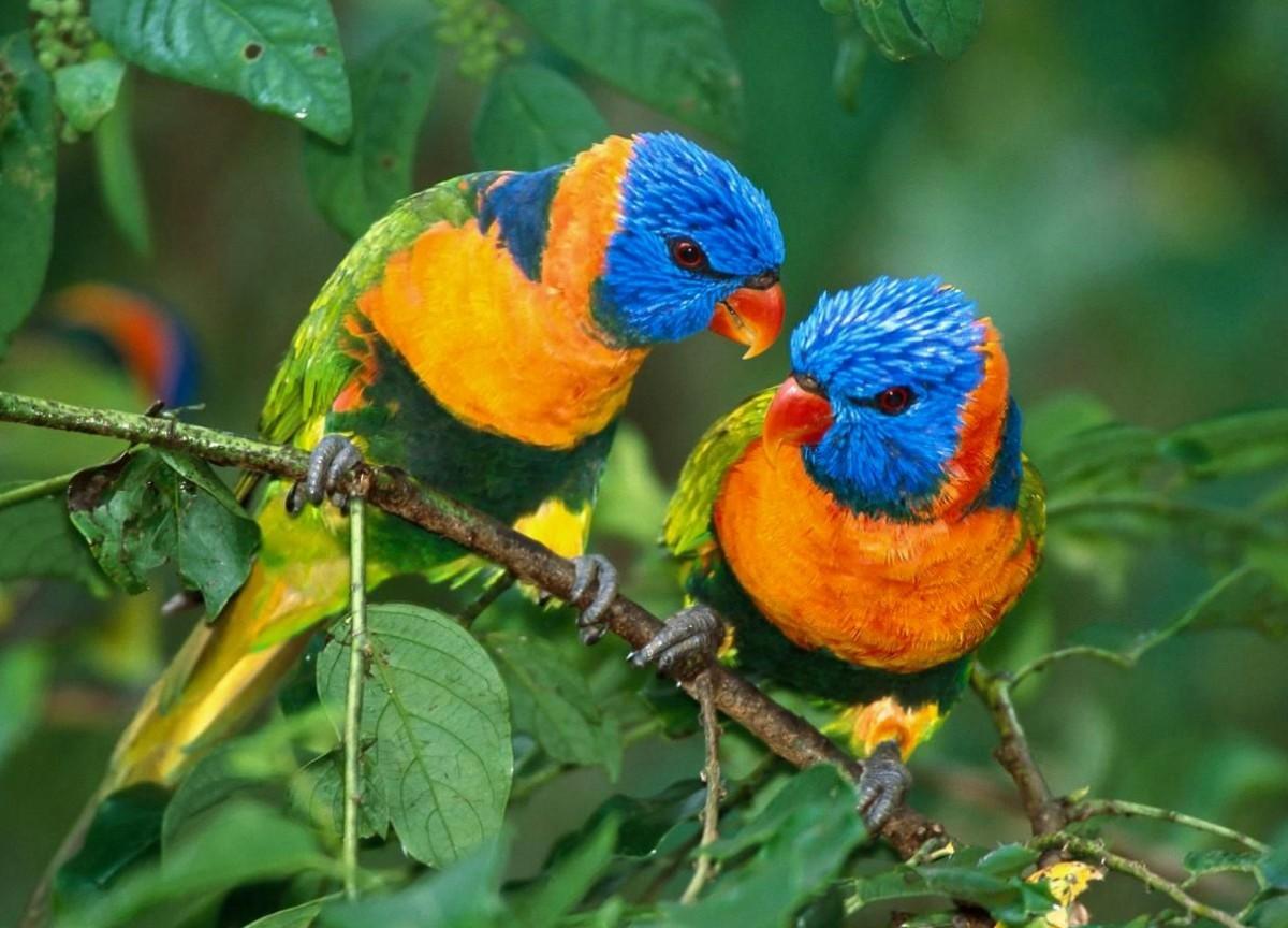 Пазл Собирать пазлы онлайн - Попугаи