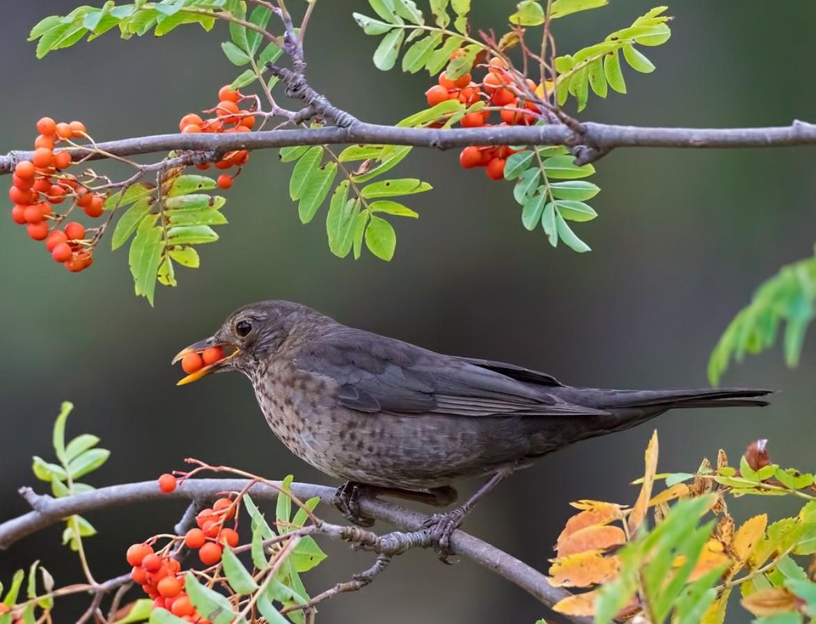Пазл Собирать пазлы онлайн - Птица на рябине