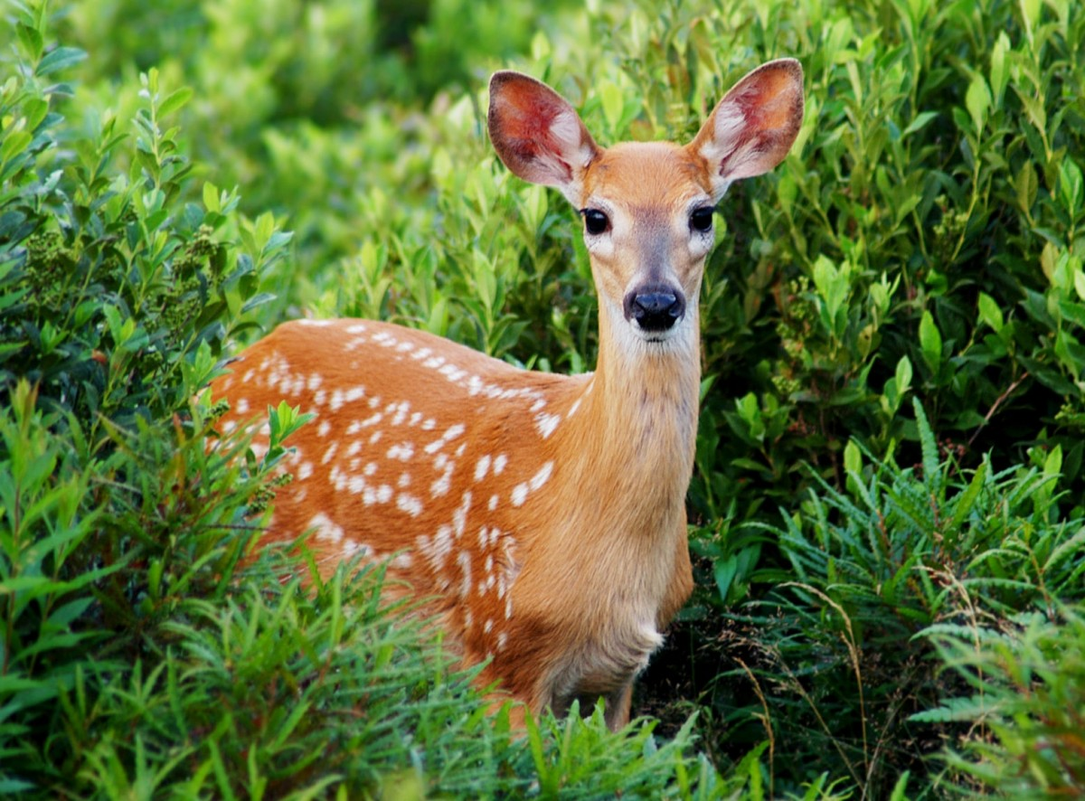 Пазл Собирать пазлы онлайн - Пятнистый олень