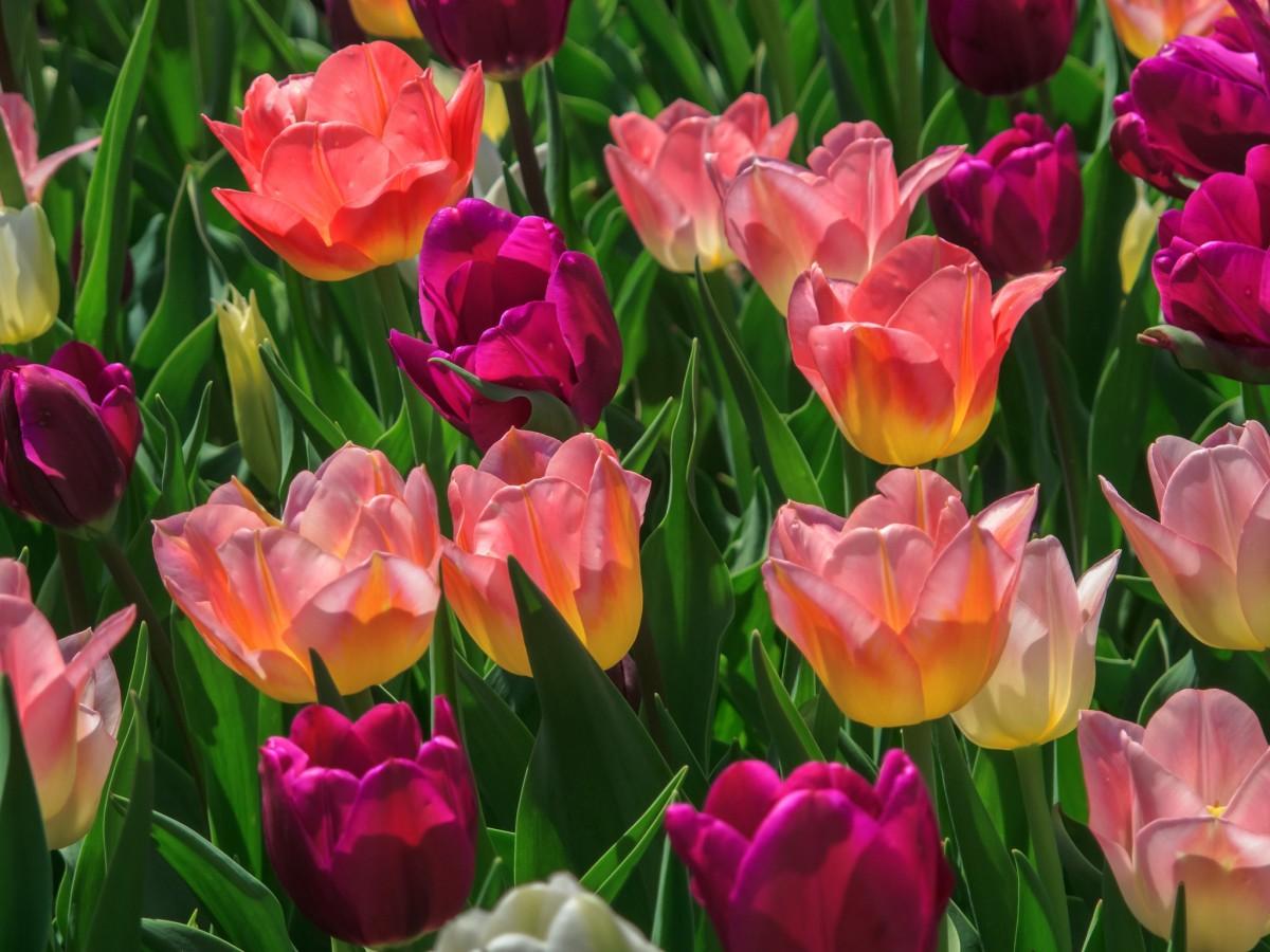 Пазл Собирать пазлы онлайн - Разноцветные тюльпаны