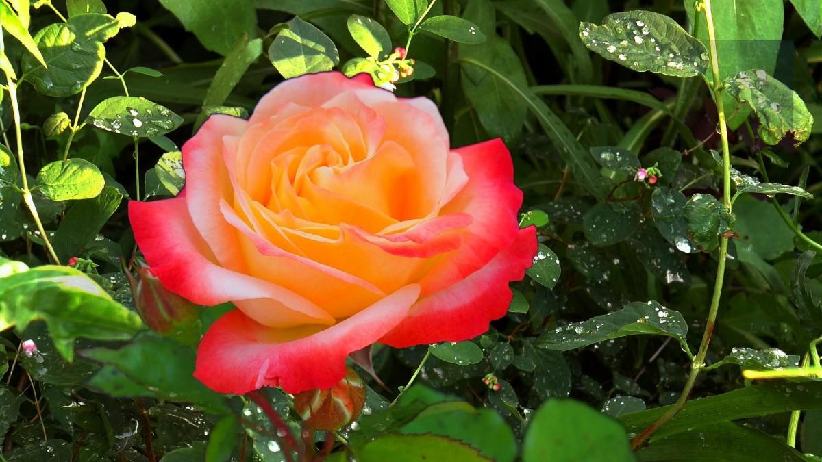 Пазл Собирать пазлы онлайн - Роза