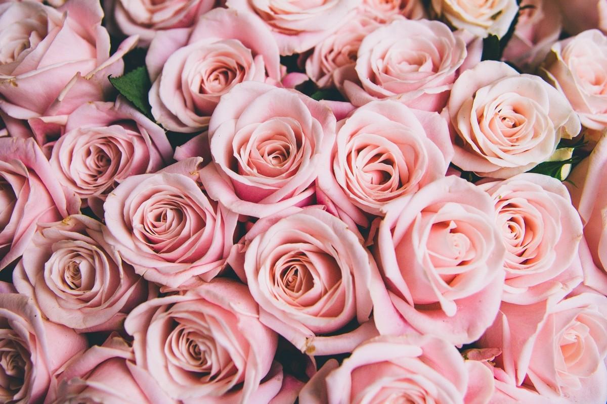 Пазл Собирать пазлы онлайн - Розовые бутоны