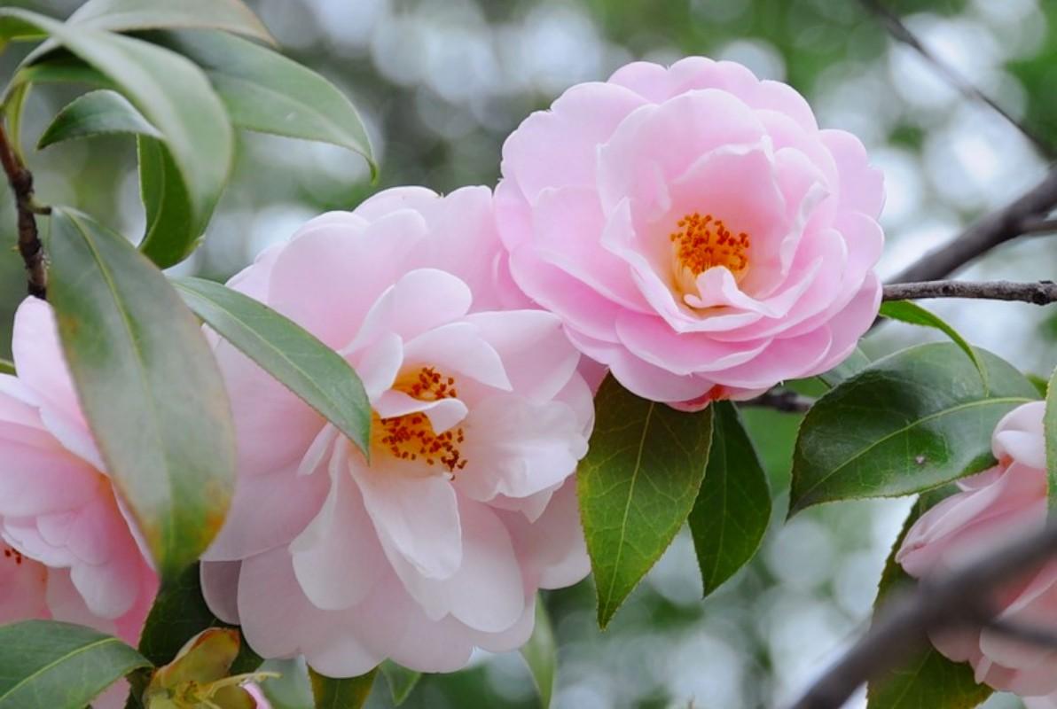 Пазл Собирать пазлы онлайн - Розовые камелии