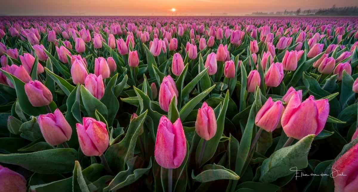 Пазл Собирать пазлы онлайн - Розовые тюльпаны