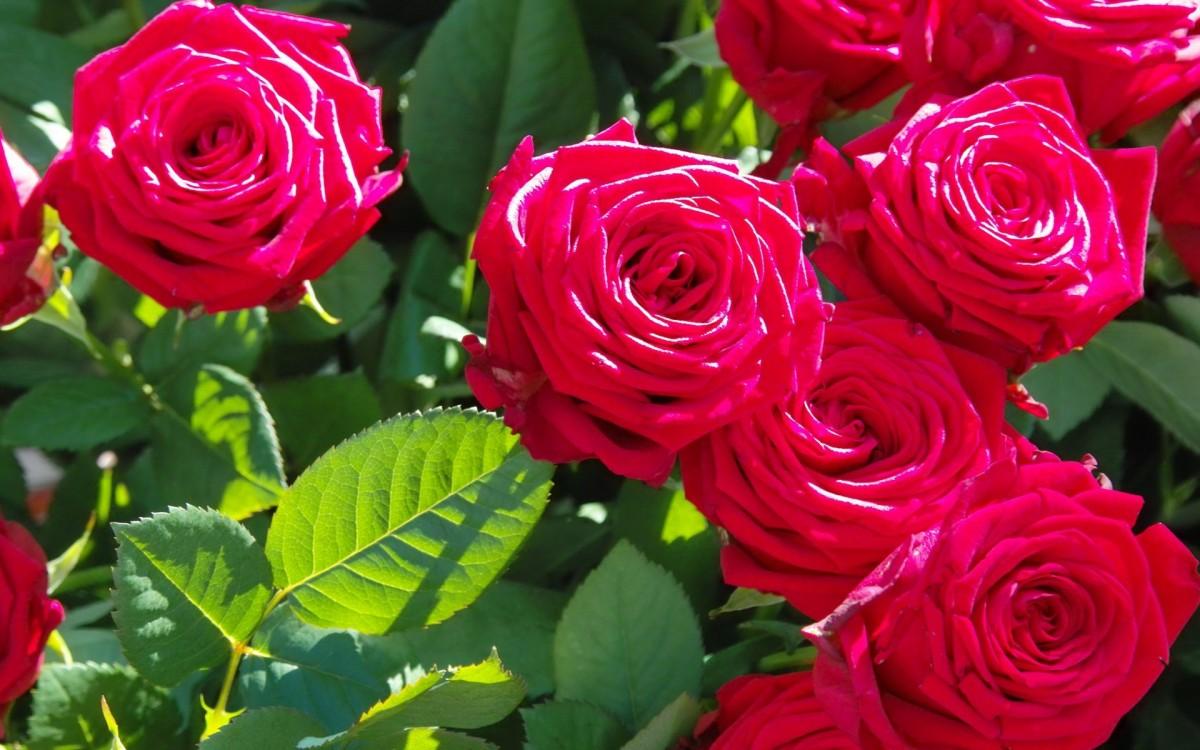 Пазл Собирать пазлы онлайн - Розовый куст