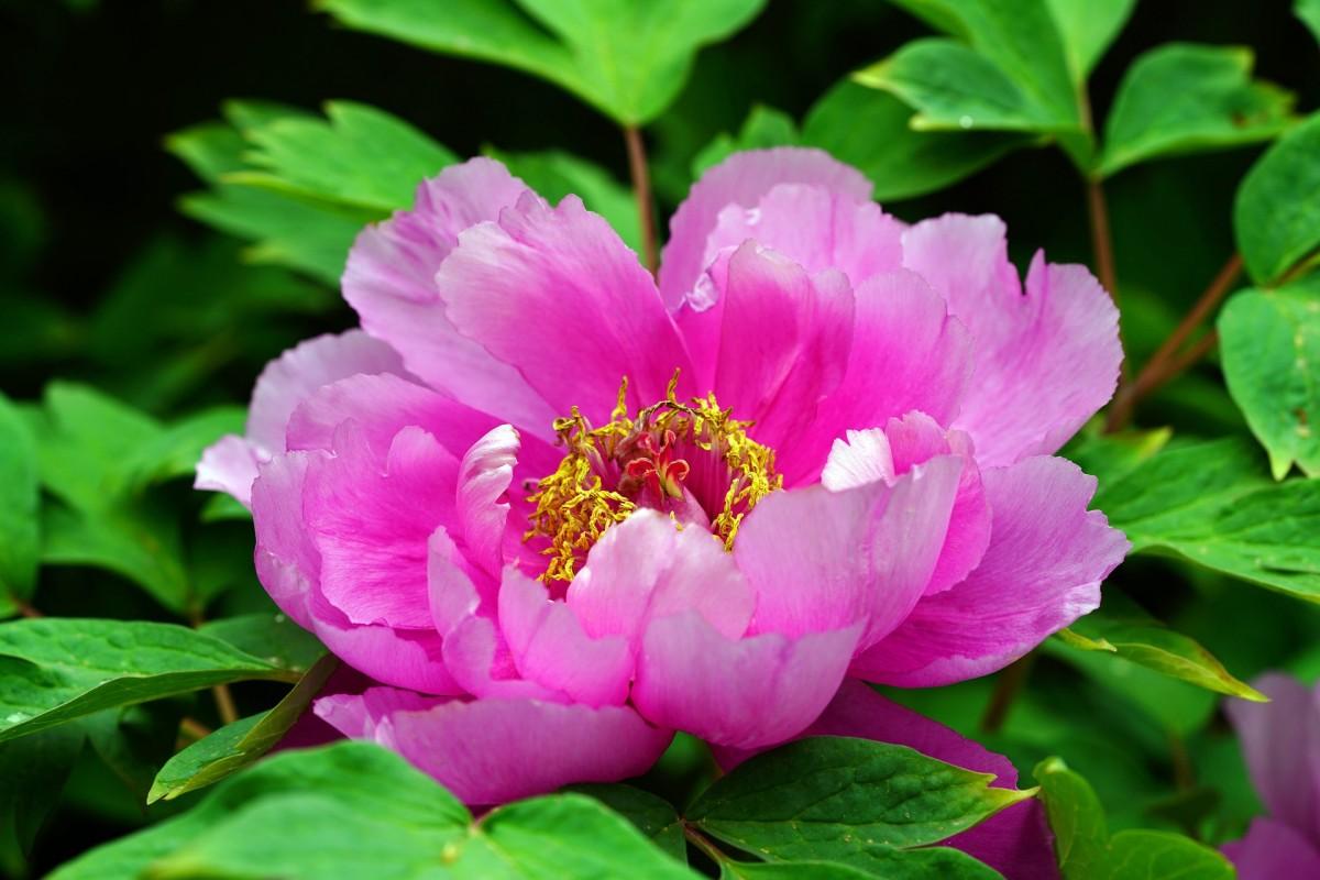 Пазл Собирать пазлы онлайн - Розовый пион