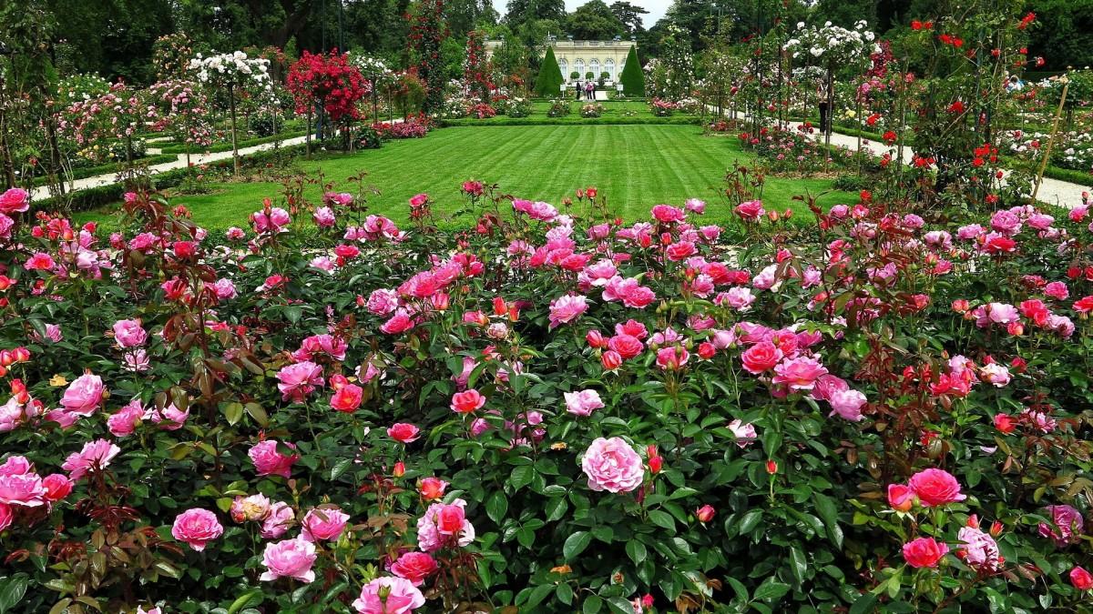 Пазл Собирать пазлы онлайн - Розовый сад