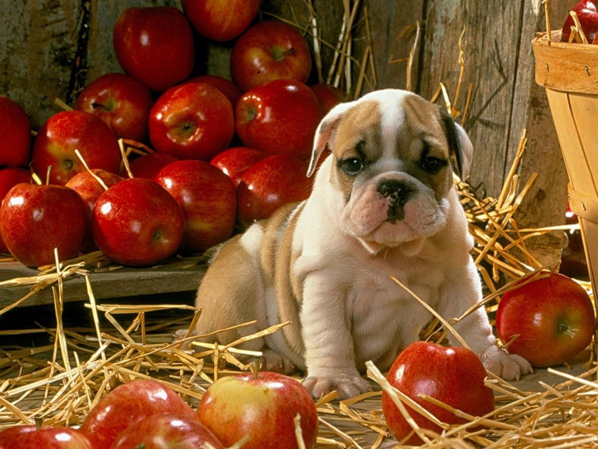 Пазл Собирать пазлы онлайн - Щенок в яблоках