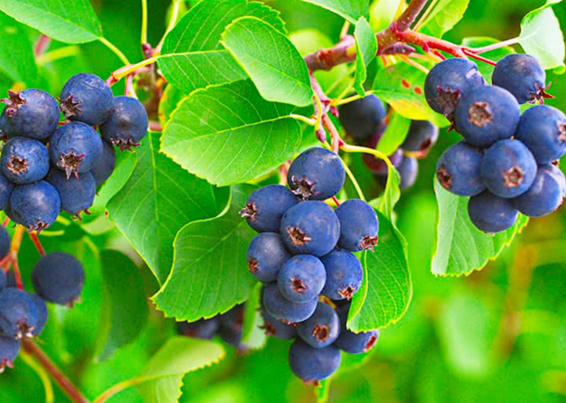 Пазл Собирать пазлы онлайн - Синие ягоды