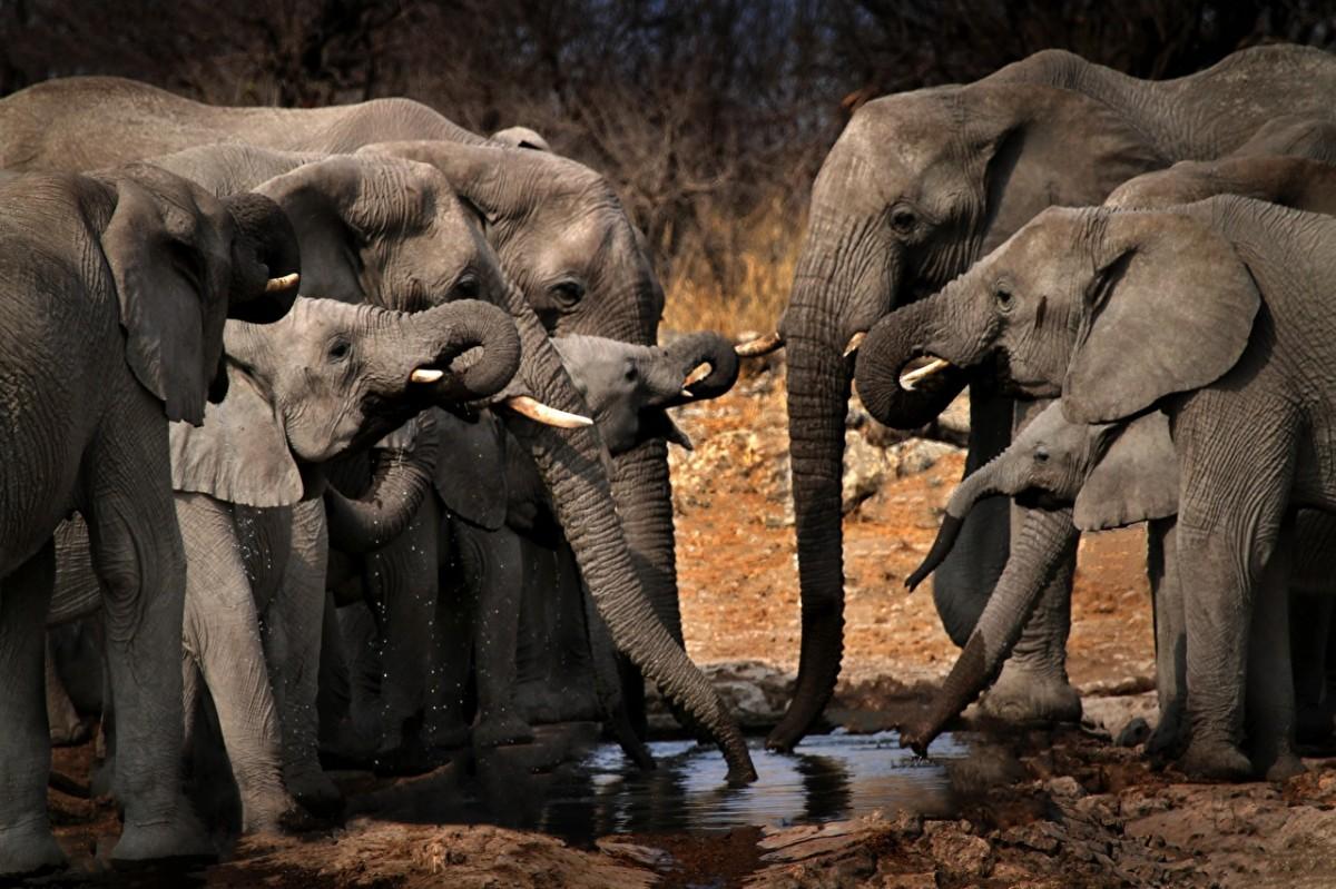 Пазл Собирать пазлы онлайн - Слоны на водопое